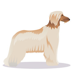 Afghan hound pale vector