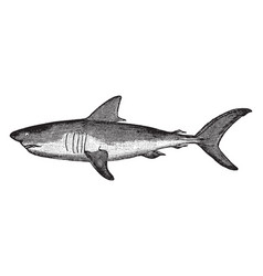 Mackerel shark vintage vector