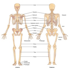 Skeletal structure vector