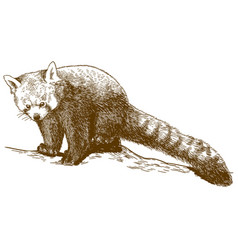 Engraving of red panda vector