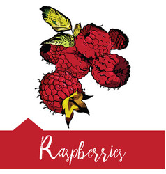 Raspberry in hand-drawn graphics vector