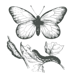 butterfly ink drawing vector image