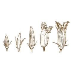 engravingfive squash blossoms vector image
