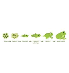 Frog life cycle egg masses tadpole froglet vector