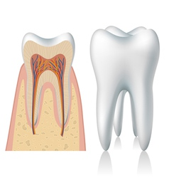 Tooth anatomy vector image