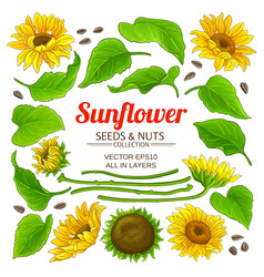 sunflower elements set vector image