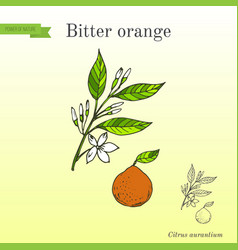 Bitter orange seville orange sour orange vector