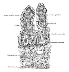 Transverse section of villi of small intestine vector