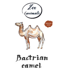 Bactrian camel two-hamped camel vector