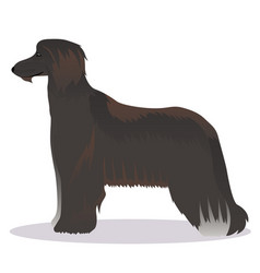 Afghan hound black vector
