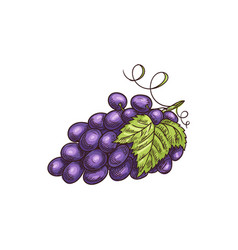 Cluster blur grape berries with leaves isolated vector