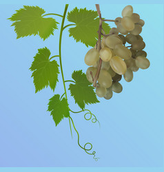 Grapes with leaves on blue background vector