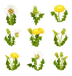 flat set of dandelions wild herd with vector image