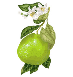 Pomelo fruit with blooming flowers on the branch vector