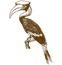 Engraving of great hornbill vector