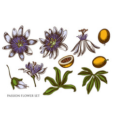 Set hand drawn colored passion flower vector