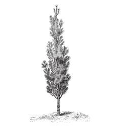 Columnar scots pine vintage vector