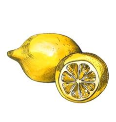 Hand drawn watercolor lemon sketch with ink vector image vector image