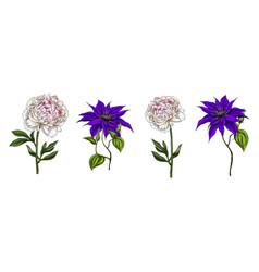 set of bright garden flowers clematis and peony vector image