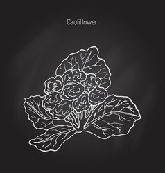 Cauliflower with leaves vector