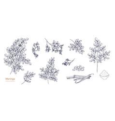 Set detailed botanical drawings moringa vector