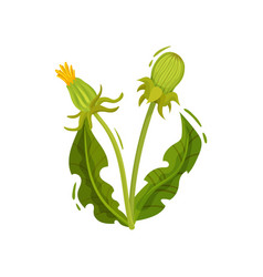 Dandelion with two closed heads and green leaves vector