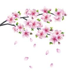 Branch of sakura blooming Japanese cherry tree vector