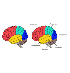 sections of human brain anatomy side view flat vector image