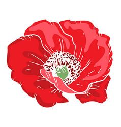 Beautiful poppy flower of big poppy bud isolated vector