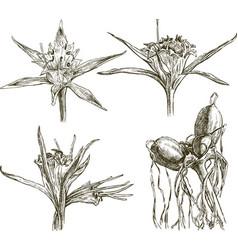 Sea lily vector