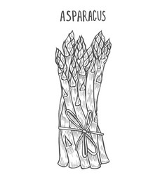 - asparagus collection vector image