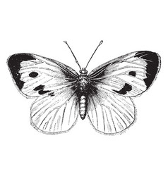 Large white cabbage butterfly vintage vector