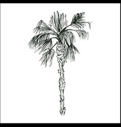 coconut palm sketch or queen palmae with leaves vector image