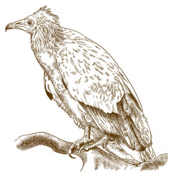 Engraving of egyptian vulture vector
