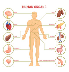 human organs infographics vector image