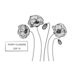 Poppy flower drawing vector