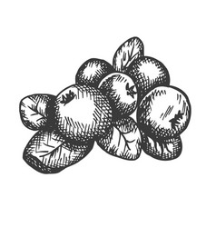 Cranberry hand drawn sketch fruit vector
