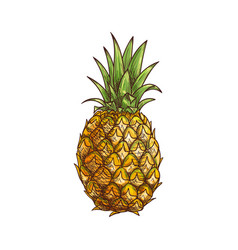 ananas or pineapple tropical fruit isolated sketch vector image
