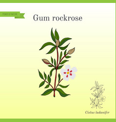Gum rockrose or labdanum common gum cistus vector