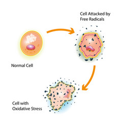 cell oxidative stress vector image vector image