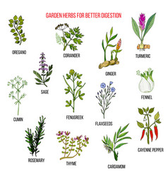 best garden herbs for better digestion vector image