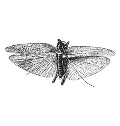 Grasshopper vintage vector