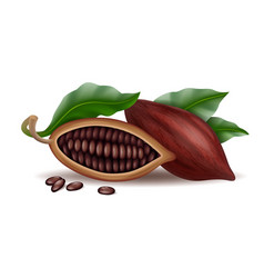 realistic raw and dry cocoa thee pods beans and vector image