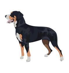 swiss mountain dog isolated on white background vector image