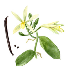 Watercolor vanilla plant vector