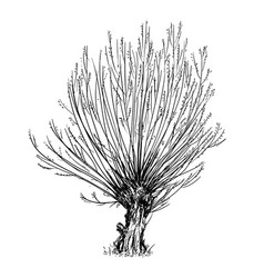 Cartoon drawing of willow or sallow tree vector