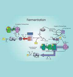 fermentation process vector image