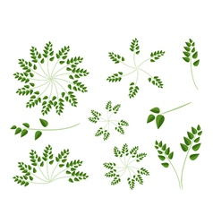 A Set of Evergreen Leaves on White Background vector image