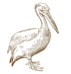 engraving of great white pelican vector image