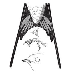 Barn swallow details vintage vector